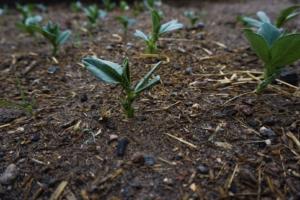 Piantine dell'orto, permacultura