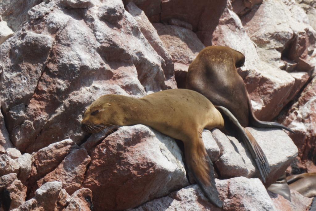 Leoni marini a Paracas